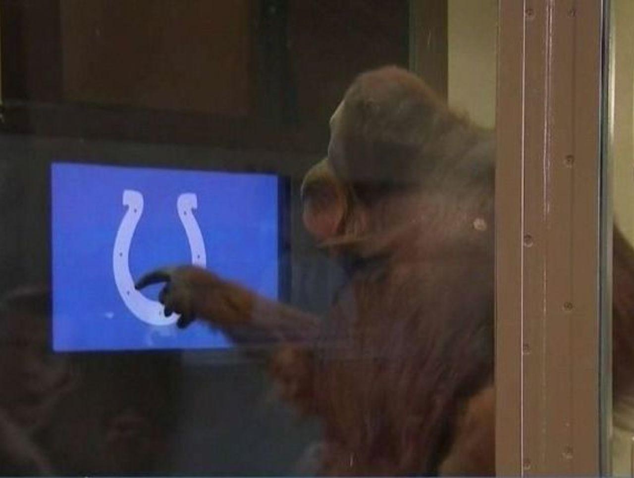 Cropped orangutan