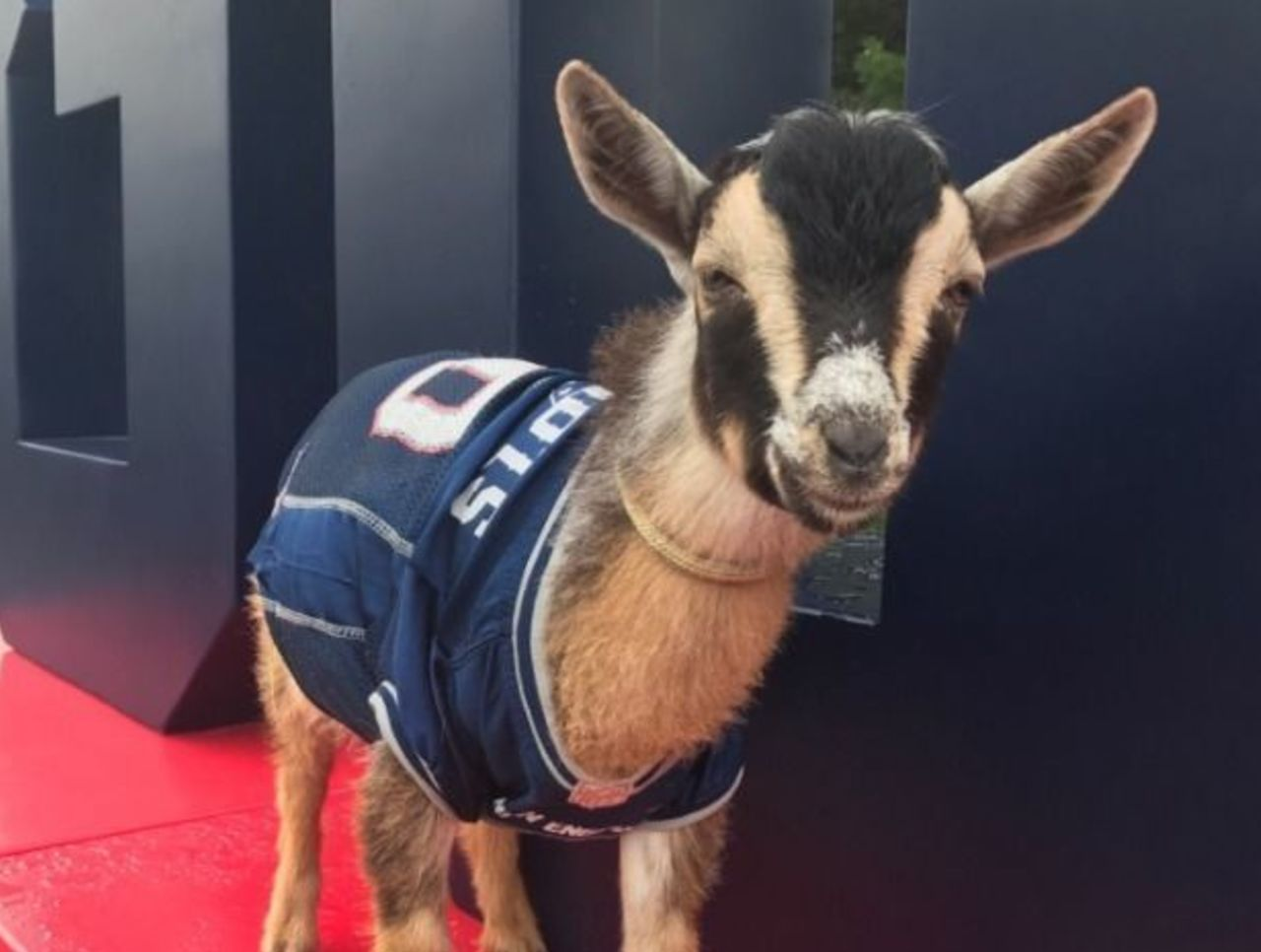 wholesale dealer 5fbd9 34d4a Patriots celebrate Brady's 40th birthday with 5 goats in ...