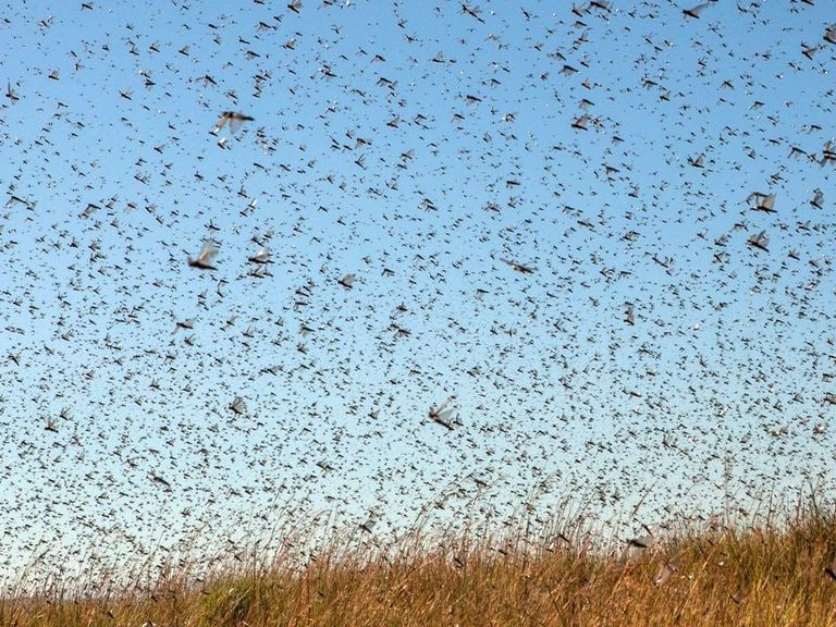Russian official warns locusts threaten to 'disgrace' World Cup pitches